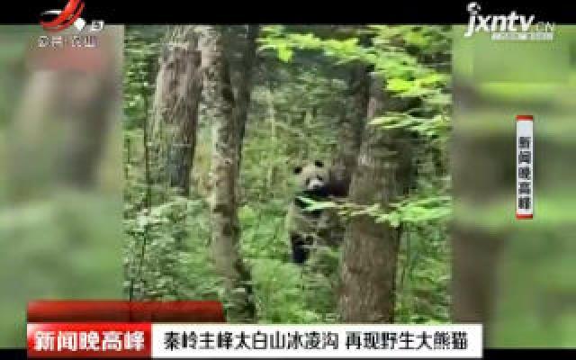 秦岭主峰太白山冰凌沟 再现野生大熊猫