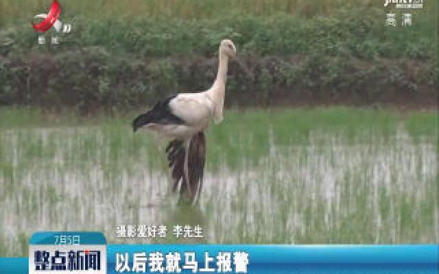 """鄱阳:东方白鹳受伤落水田  众人合力救""""国宝"""""""