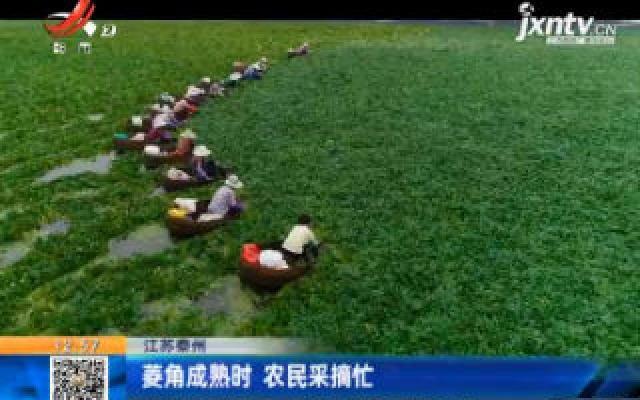 江苏泰州:菱角成熟时 农民采摘忙