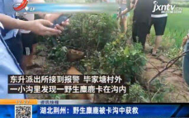 湖北荆州:野生麋鹿被卡沟中获救