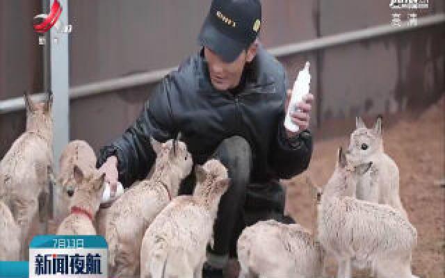 可可西里11只藏羚羊幼仔得到救助