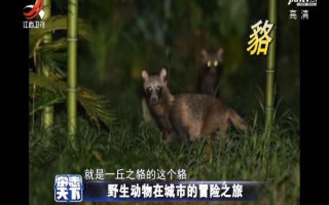 野生动物在城市的冒险之旅