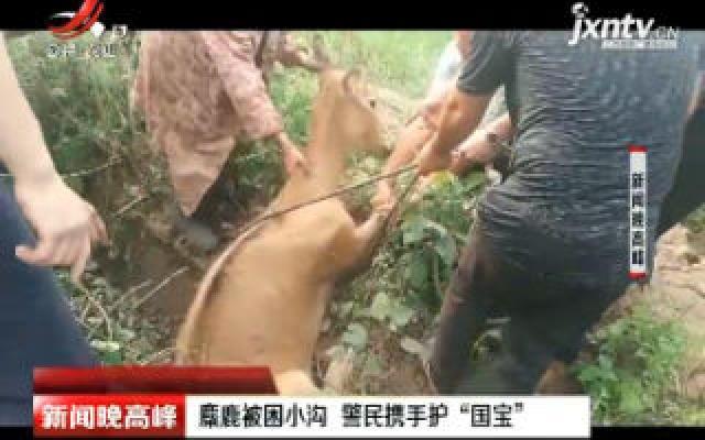 """湖北:麋鹿被困小沟 警民携手护""""国宝"""""""
