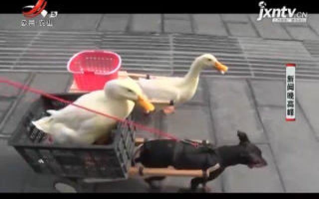 """贵州:可爱宠物鸭成街头""""最靓的仔"""""""