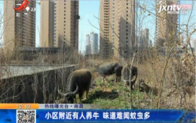 【热线曝光台】南昌:小区附近有人养牛 味道难闻蚊虫多