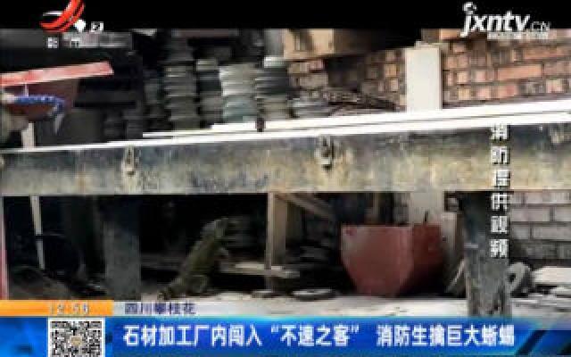 """四川攀枝花:石材加工厂内闯入""""不速之客"""" 消防生擒巨大蜥蜴"""