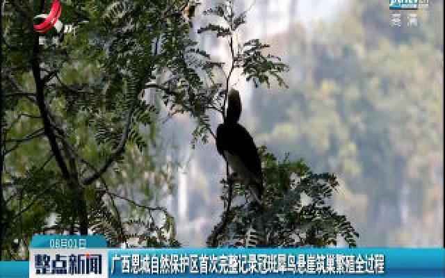 广西恩城自然保护区首次完整记录冠斑犀鸟悬崖筑巢繁殖全过程