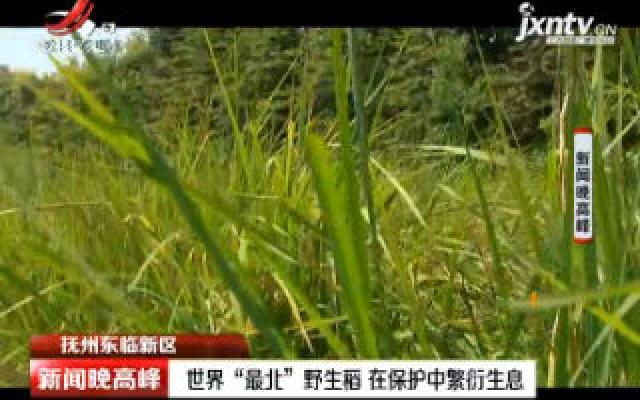 """抚州东临新区:世界""""最北""""野生稻 在保护中繁衍生息"""