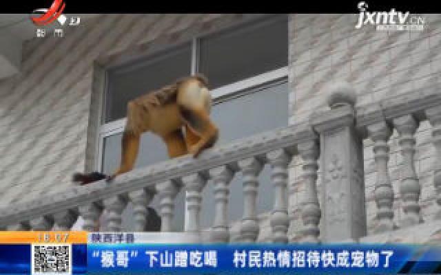 """陕西洋县:""""猴哥""""下山蹭吃喝 村民热情招待快成宠物了"""