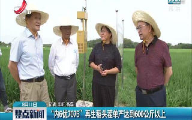 """""""内6优7075""""再生稻头茬单产达到600公斤以上"""