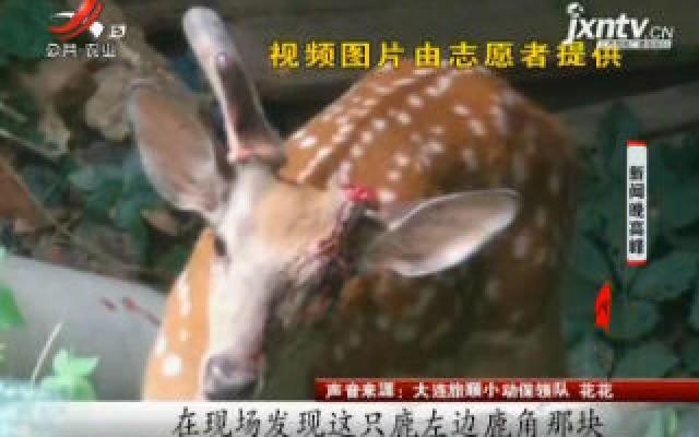 大连:两百斤梅花鹿撞断鹿角 志愿者热心救助
