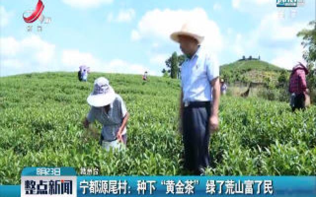 """宁都源尾村:种下""""黄金茶""""绿了荒山富了民"""