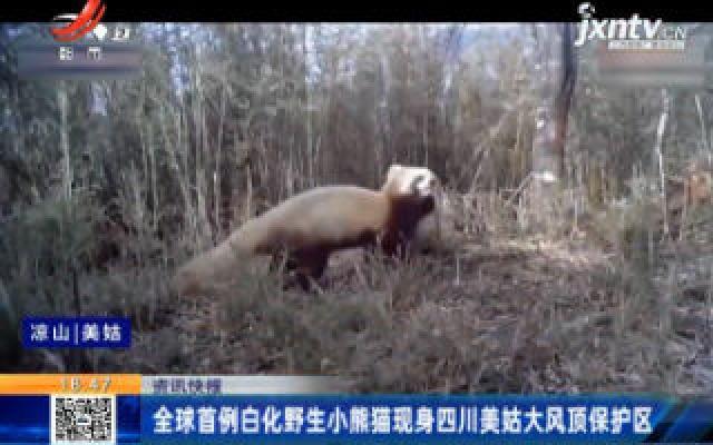 全球首例白化野生小熊猫现身四川美姑大风顶保护区