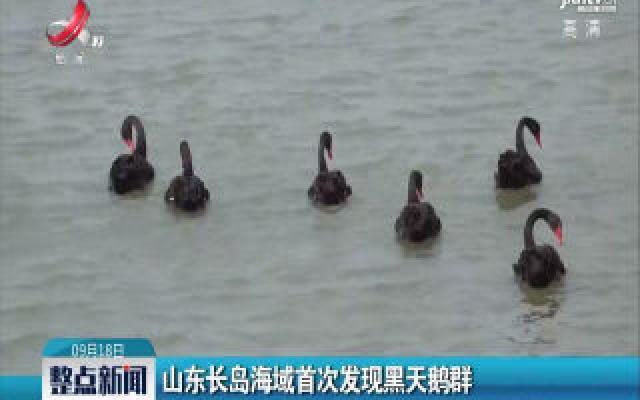 山东长岛海域首次发现黑天鹅群