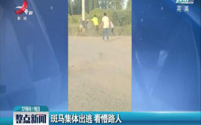 河南:斑马集体出逃 看懵路人