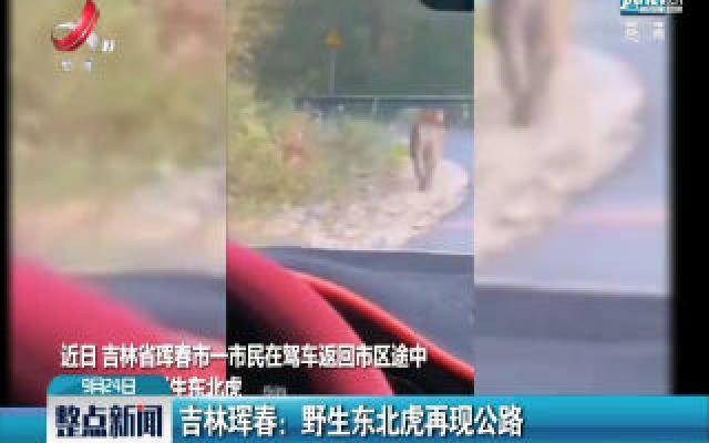 吉林珲春:野生东北虎再现公路
