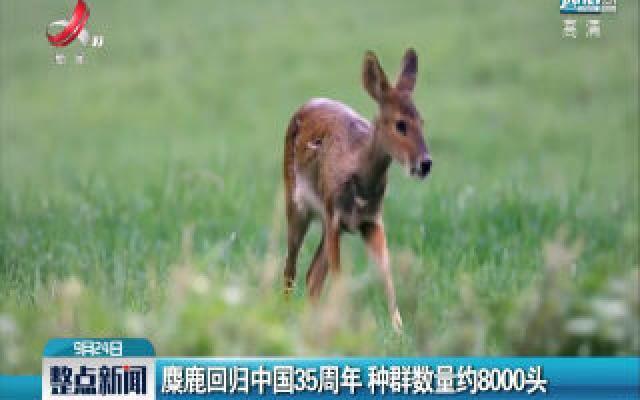 麋鹿回归中国35周年 种群数量约8000头