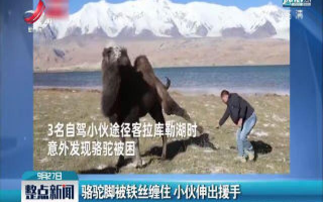 新疆:骆驼脚被铁丝缠住 小伙伸出援手
