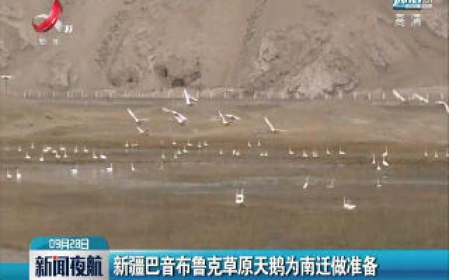 新疆巴音布鲁克草原天鹅为南迁做准备