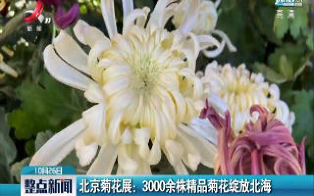 北京菊花展:3000余株精品菊花绽放北海
