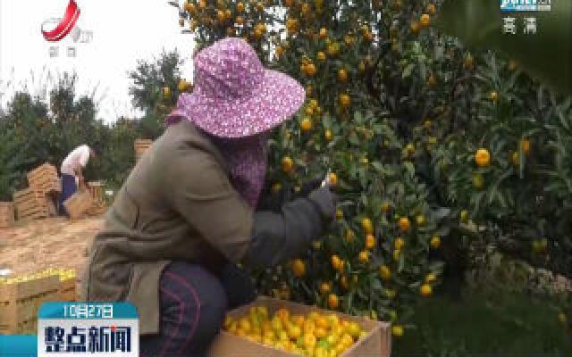 抚州:南丰蜜橘正式开剪采摘