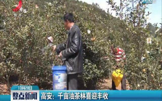 高安:千亩油茶林喜迎丰收