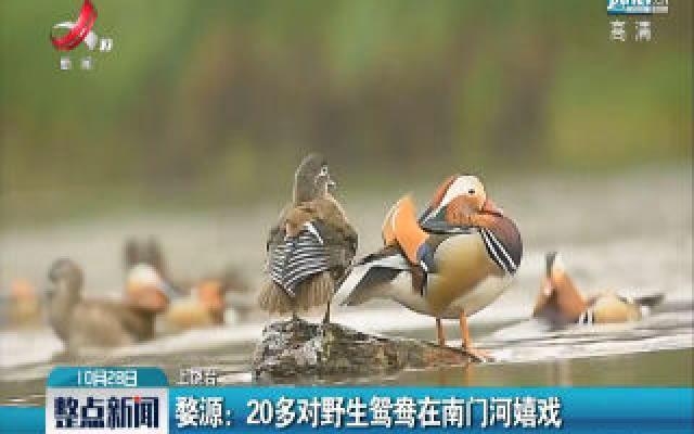 婺源:20多对野生鸳鸯在南门河嬉戏