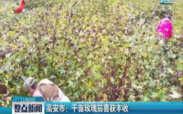 高安:千亩玫瑰茄喜获丰收