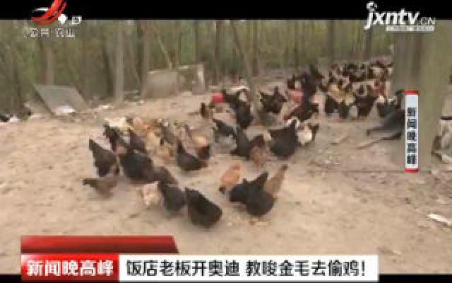 扬州:饭店老板开奥迪 教唆金毛去偷鸡!