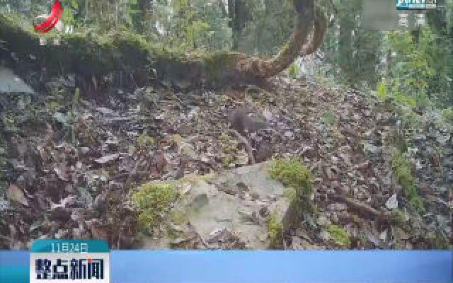 云南保山昌宁:红外相机拍摄到多种珍稀野生动物