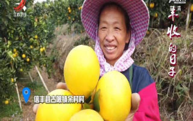 【丰收的日子】满山脐橙树 幸福余村人