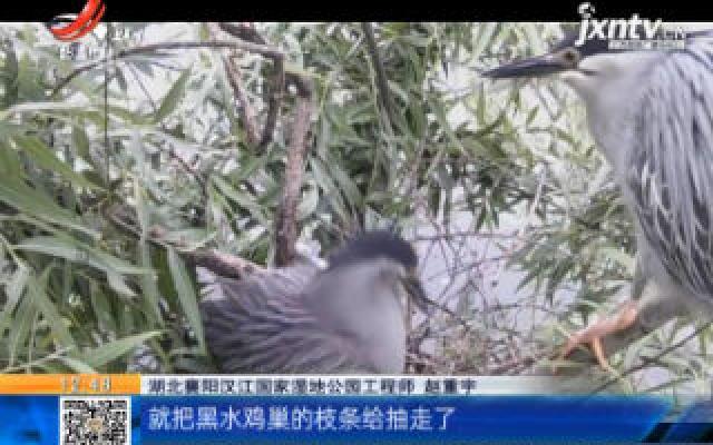 """湖北襄阳:喜鹊""""偷蛋"""" 监控揭秘"""
