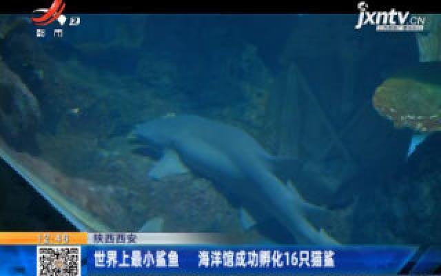 陕西西安:世界上最小鲨鱼 海洋馆成功孵化16只猫鲨