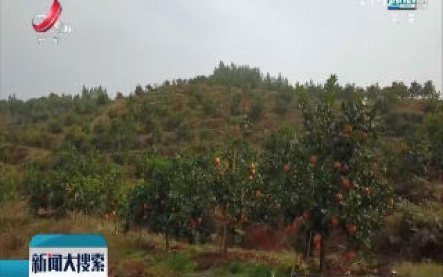 余干:脐橙成为农民脱贫增收新产业