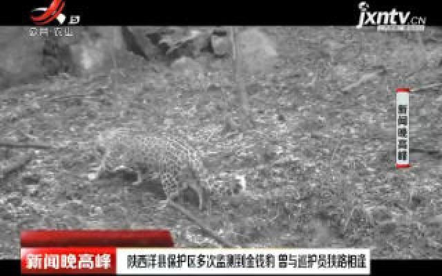 陕西洋县保护区多次监测到金钱豹 曾与巡护员狭路相逢